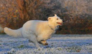 Bieganie na spacerach może zostać przerwane przez nagłe kulenie u psa. Najczęstszą przyczyną tego stanu rzeczy jest uszkodzenie więzadła krzyżowego doczaszkowego stawu kolanowego.