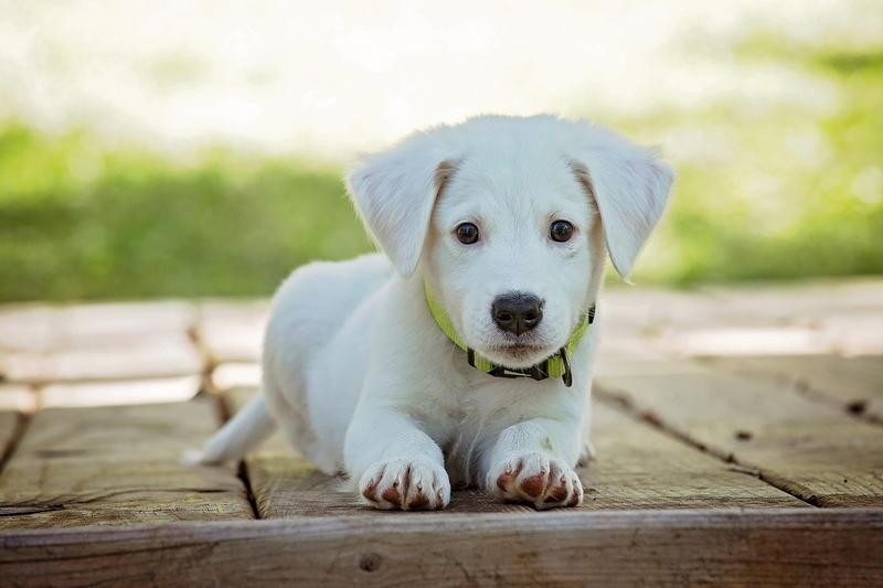Pies - czy warto czipować