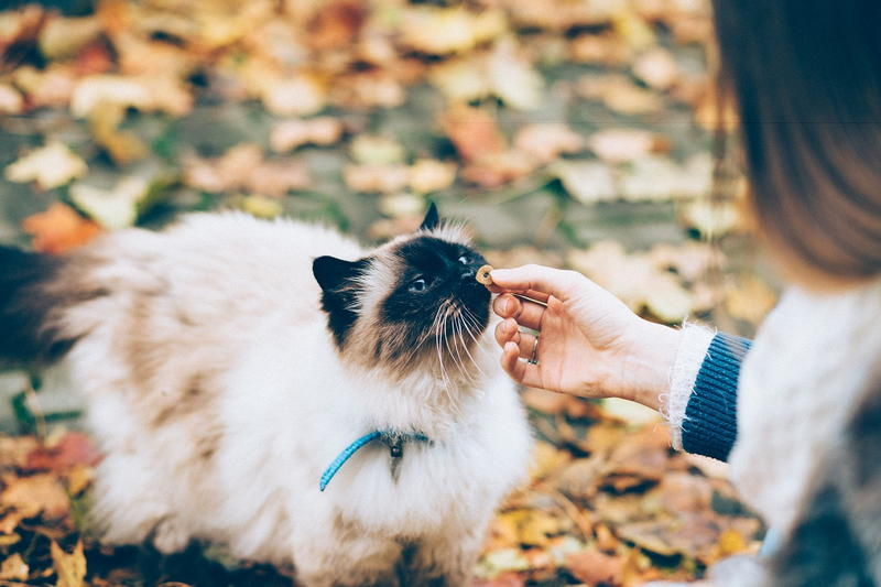 Dermatologia zwierząt - kot