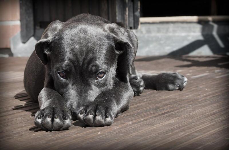 Dermatologia zwierząt - pies