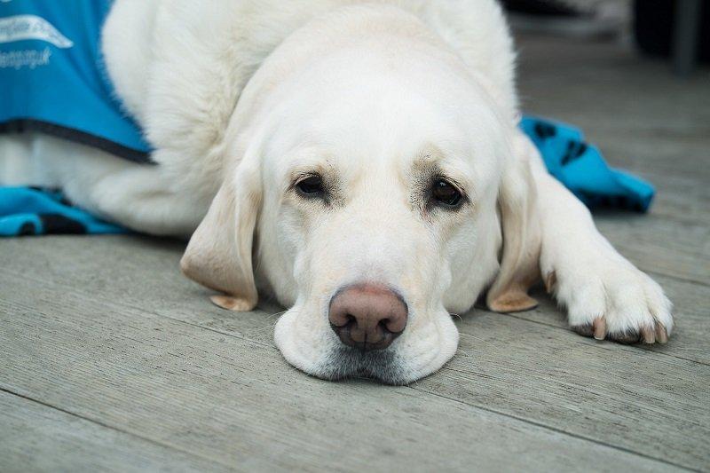 Pies w klinice