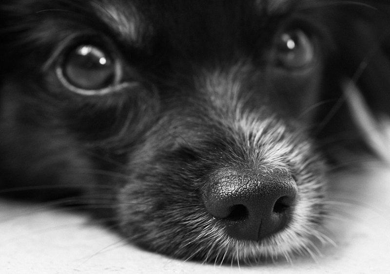 Czarny pies o ciemnych oczach