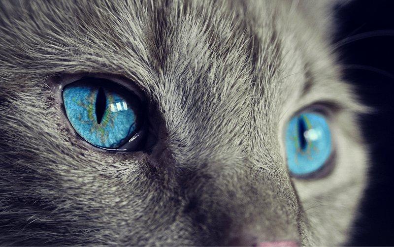 Niebieskie oczy kota