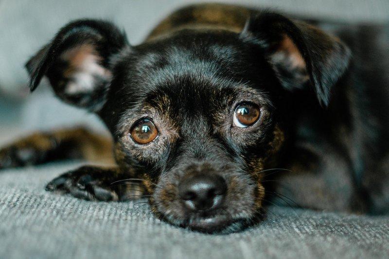Czerwone oko u psa